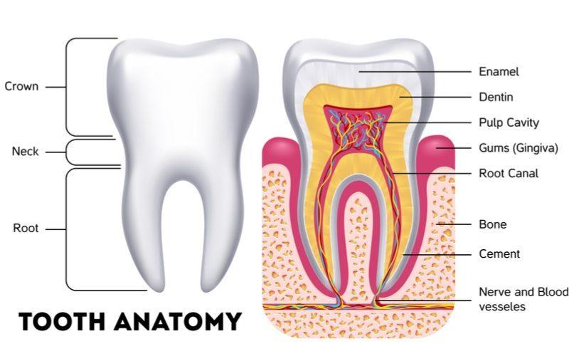 The Anatomy Of A Tooth - Higginbotham Family Dental: Higginbotham ...